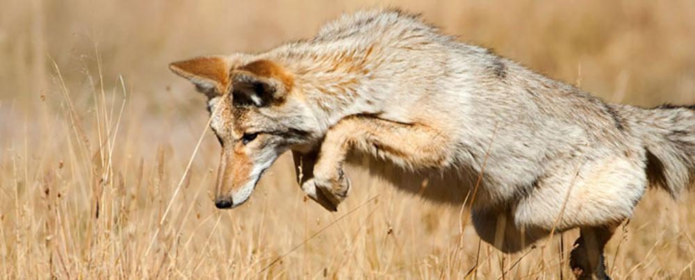 Premier Northern Coyote hunts
