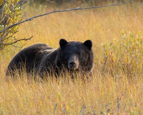 McNeice Outfitting - Bear Hunts